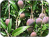 mango farmers loan